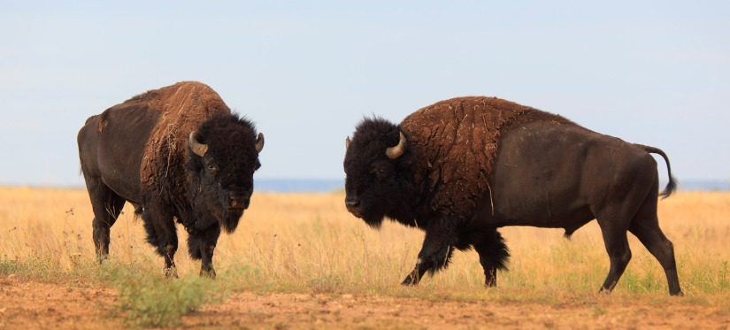 Caprock_Bison-release-_MG_1243A-opti